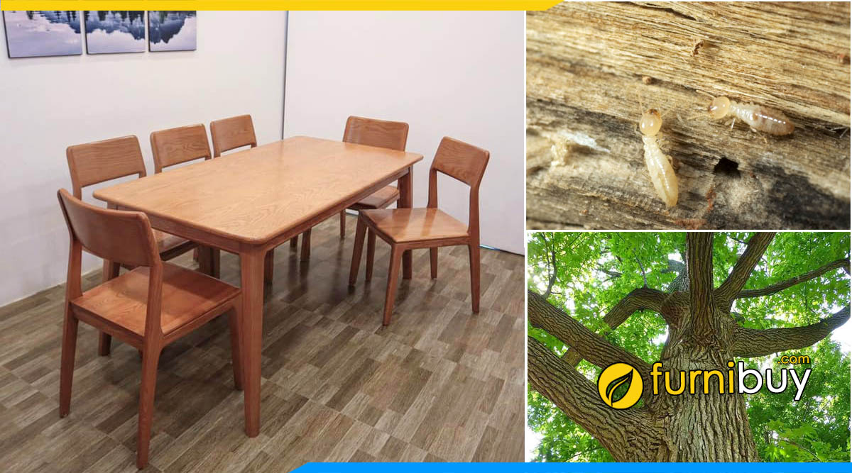 Bộ bàn ghế ăn gỗ Sồi có bị mối mọt không