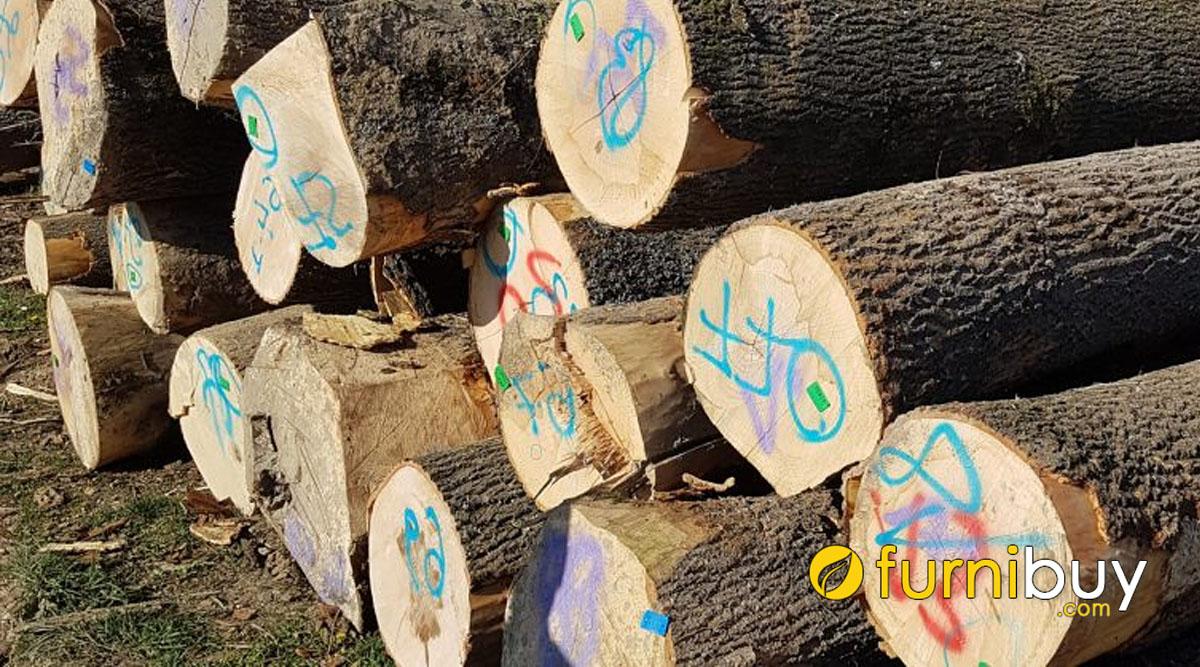 đặc trưng của gỗ tần bì và cách nhận biết khi mua